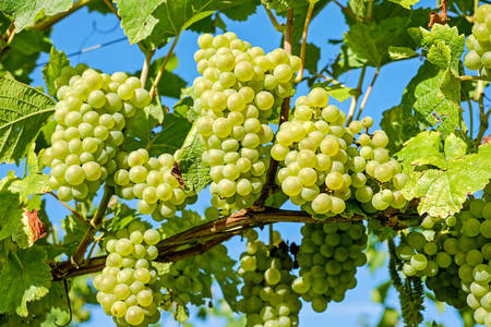 Ripe grapes