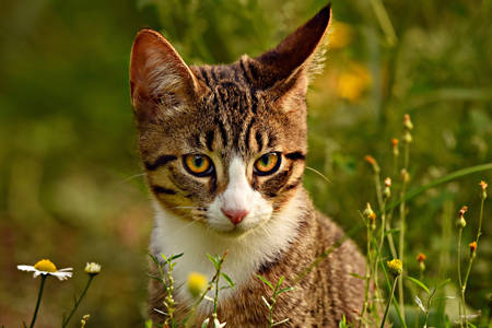 Ριγέ γάτα