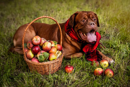 Red Mastiff next to a basket of ripe apples