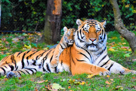 Tigress with tiger cub