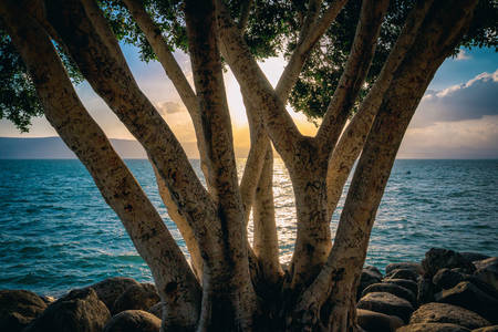 Tree on the shore of the Sea of Galilee