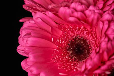 Macro photo of pink gerbera