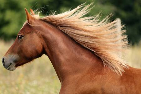 Galoppierendes Pony