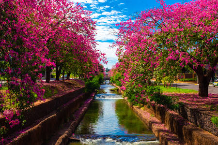 Flowering trees in Campo Grande