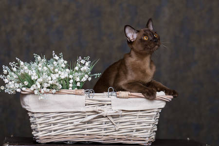 Burmese shorthair cat