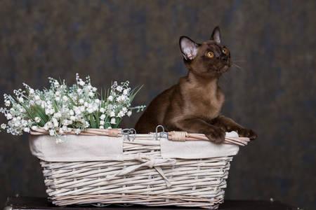 Pisică cu păr scurt birmanez