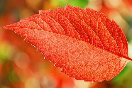 Macro photo of a red leaf