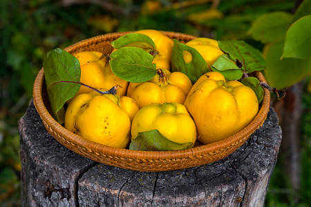 Yellow quince in a wicker basket
