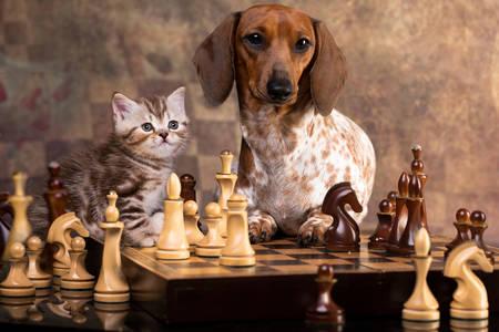 Dachshund ve kedi yavrusu satranç tahtasında