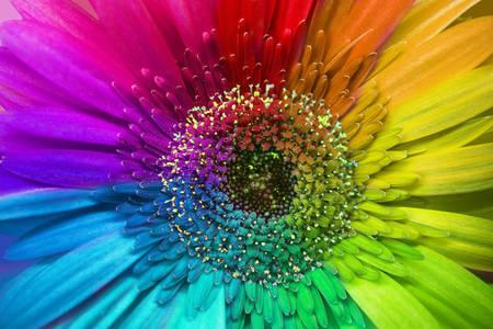 Multicolored gerbera