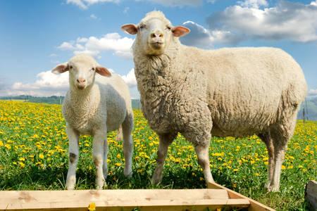 Овцы на поле