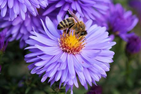 Včela na kvete orgovánu