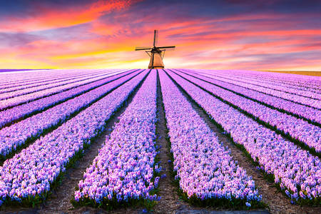 Blooming fields of hyacinths