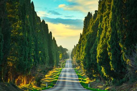 Bolgheri cypress alley