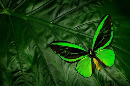 Ornithoptera euphorion