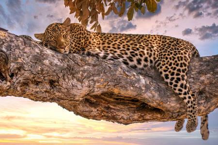 Leopard na grani drveta