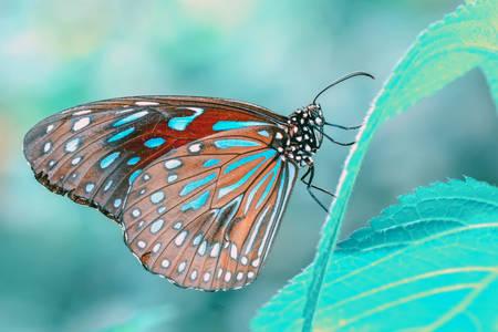 Tirumala butterfly