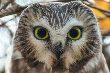Northern sharpening owl