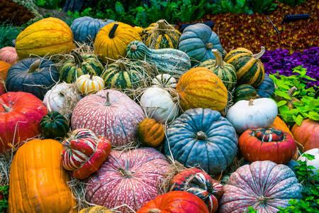 Abóboras multicoloridas