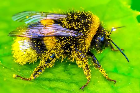 Včela v pylu