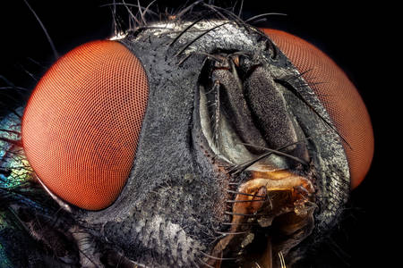 Macro photo of Calliphorida fly