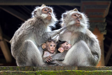 Famille macaque