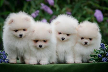 Beyaz Pomeranya yavruları