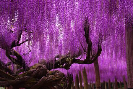 Wisteria stromy