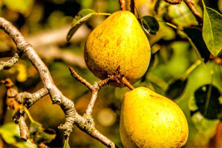 Peras en el árbol