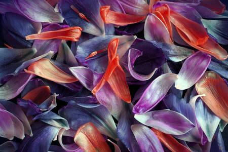 Płatki tulipanów