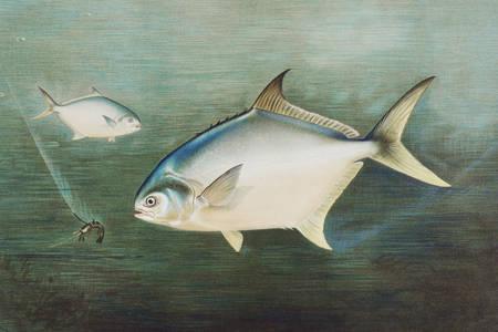 Pompano balığı