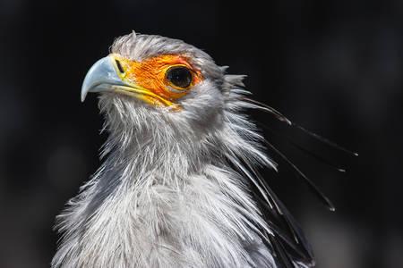 Uccello Segretario