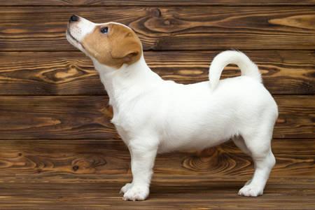 Cățeluș terrier Jack Russell