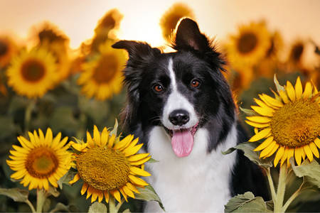 Border Collie in a field of sunflowers