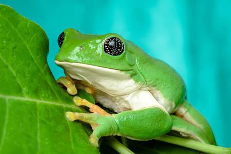 Meksika yaprak kurbağası