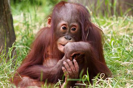 Kleine orang-oetan