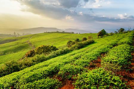 Çay Plantasyonu