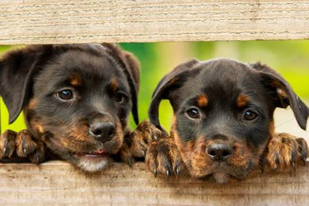 Rottweiler-puppy's