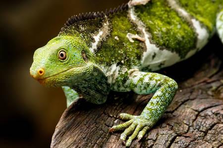 Spotted Fijian Iguana