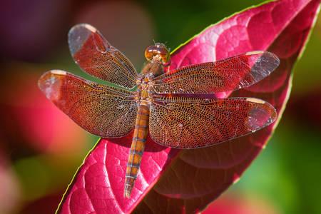 Dragonfly on a pink leaf