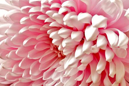Macro photo of pink dahlia
