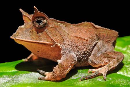 Boie's frog