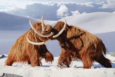 Boj dvou mamutů