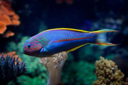 Klunzinger Wrasse Fish