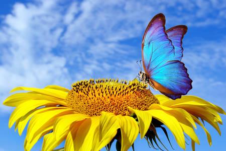 Бабочка морфо на подсолнухе