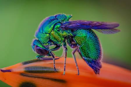 Синяя бутылочная муха