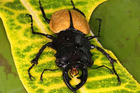 Stag beetle on green leaf