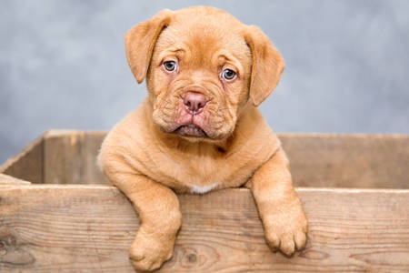 Dogue de bordeaux šteňa