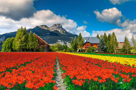 Tulip plantation in Austria