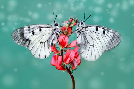 Leptirići na cvetu